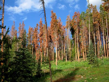 Pine Beetle Wood – Innovative Uses (1/2)